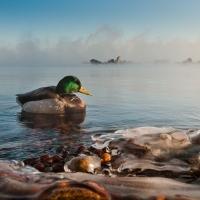 Huddled Mallards in Sea Smoke, Canal Park, Duluth, MN