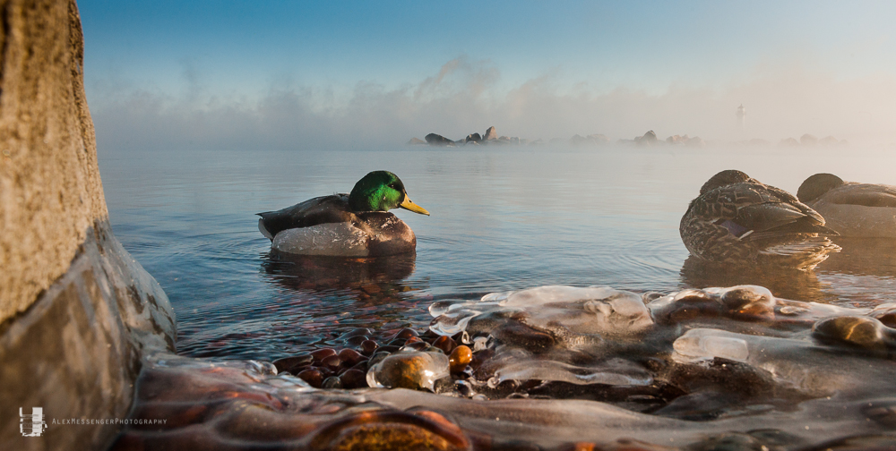 MessengerPhotoHuddled-Mallards-in-Sea-Smoke-Canal-Park-Duluth-MN1179.jpg